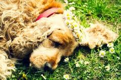 Trött kvinnlig hund som sover på den nya gröna gräsmattan med kransar av tusenskönor Arkivbild