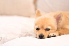 Trött och sömnig pomeranian hund fotografering för bildbyråer