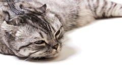 Trött skotsk kattunge på en vit bakgrund Skotsk kattunge på en doctor& x27; s-mottagande Arkivfoton