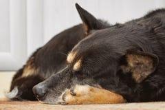 Trött sova för herdehund arkivbilder