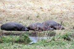 Trötta flodhästar Arkivfoton