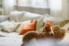 Trötta sömnar för beaglehund på en hemtrevlig soffa, soffa, filt royaltyfri foto