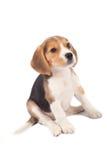 tröttad beaglevalp Royaltyfria Foton