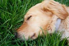 tröttad hund Arkivfoto