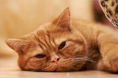 tröttad katt royaltyfria bilder