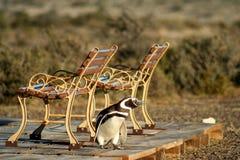 tröttad pingvin Arkivbild