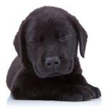 tröttade svarta labrador Royaltyfri Foto