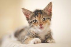 Tröttat räddade den 6 veckor kalikåkattungen med ljusa ögon som ser kameran och vilar på soffan arkivfoton