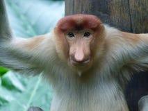 Trąbiasta długonosa małpa obrazy stock