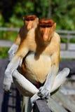 Trąbiasta małpa Zdjęcie Royalty Free