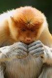 Trąbiasta małpa Fotografia Stock