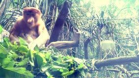 Trąbiasta małpa Zdjęcie Stock