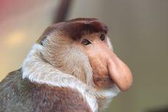 Trąbiasta małpa Zdjęcia Stock