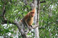 Trąbiasta małpa Obrazy Stock