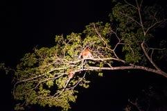 Trąbiasta małpa a lub długo ostrożnie wprowadzać małpi Nasalis larvatus sen Zdjęcia Royalty Free