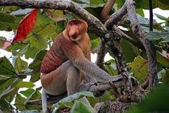 Trąbiasta małpa na drzewie Obrazy Royalty Free
