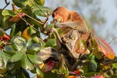 Trąbiasta małpa w Bako parku narodowym, Sarawak, Borneo (Nasalis larvatus) Obrazy Stock