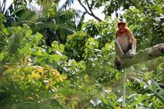 Trąbiasta małpa z długim ogonem Obraz Royalty Free