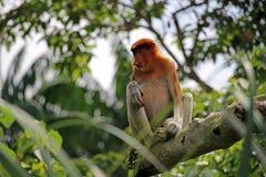 Trąbiastej małpy obsiadanie Obrazy Royalty Free