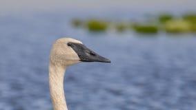 Trąbkarza łabędź portret z szczegółem piękny upierzenie, oko i belfer nabierający Crex łąki Wildlif, - przy końcówką lato - fotografia royalty free