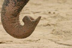 trąby słonia Zdjęcia Stock