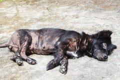 Trądu pies zdjęcia stock