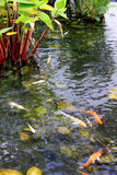 trädgårds- damm för fisk Arkivbild