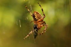 trädgårds- spindel för european Arkivbild