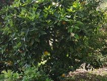 Tr?d med apelsiner Sk?nheten i natur arkivbild