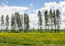 Tr?d mot en bakgrund av vita moln och f?lt med gula maskrosor arkivfoton