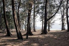 Tr?d p? stranden f?r nai yang i Thailand arkivfoton