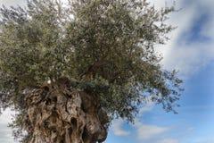 Tr?det av evighet: Det olivgr?nt, bekant vid den botaniska namnOleaeuropaeaen royaltyfri foto