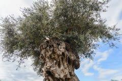 Tr?det av evighet: Det olivgr?nt, bekant vid den botaniska namnOleaeuropaeaen royaltyfri bild