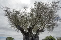 Tr?det av evighet: Det olivgr?nt, bekant vid den botaniska namnOleaeuropaeaen arkivfoto