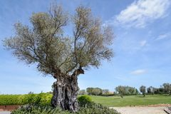 Tr?det av evighet: Det olivgr?nt, bekant vid den botaniska namnOleaeuropaeaen arkivfoton