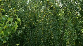 Tr?dfilial med frukter Överflödande färger för körsbärsröd plommon för omogna frukter gröna på filialerna av ett träd som svänger stock video