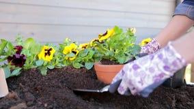 Tr?dg?rdsm?stareh?nder som planterar blommor i kruka med smuts eller jord arbeta i tr?dg?rden f?r begrepp stock video