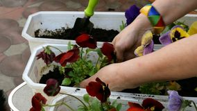 Tr?dg?rdsm?stareh?nder som planterar pansies, eller altfiol som ?r tricolor i blomkruka med smuts eller jord arkivfilmer