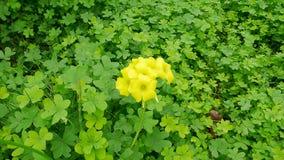 Tr?fle en fleur 2 image stock