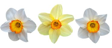 Tr?s narcisos amarelos Isolado no fundo branco fotografia de stock