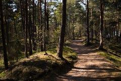 Tr?v?g - baltisk Eastern Europe pinjeskog med h?ga gamla vintergr?na tr?d som pekar upp i himlen under ett ljust soligt arkivfoton