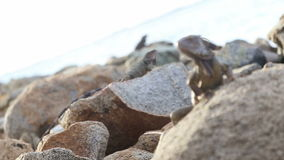 Tração do foco da iguana video estoque