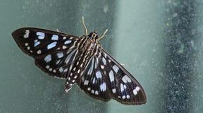 Traça, borboleta na noite, traça em Tailândia fotos de stock royalty free