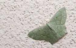 Traça, borboleta na noite, traça em Tailândia Fotos de Stock