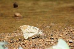 Traça da borboleta Fotografia de Stock