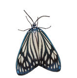 Traça da joia de Drury fêmea (papilionaris de Cyclosia) Fotografia de Stock
