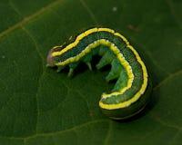 Traça da vassoura, larva do pisi de Melanchra foto de stock royalty free