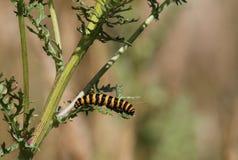 Traça de cinábrio Caterpillar (jacobaeae de Tyria) Fotografia de Stock Royalty Free