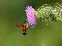 Traça de Clearwing do colibri Imagens de Stock