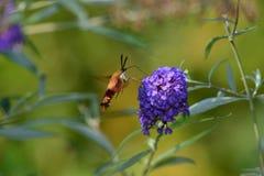 Traça de Clearwing do colibri Foto de Stock Royalty Free
